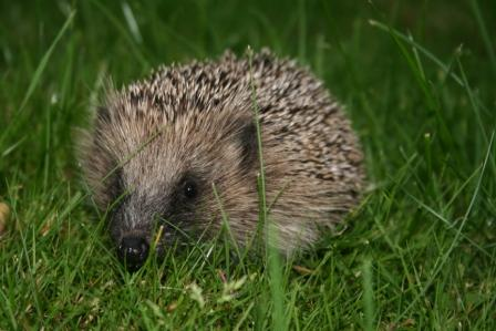 One of our wild hedgehogs, Horace, out and about in the twilight.